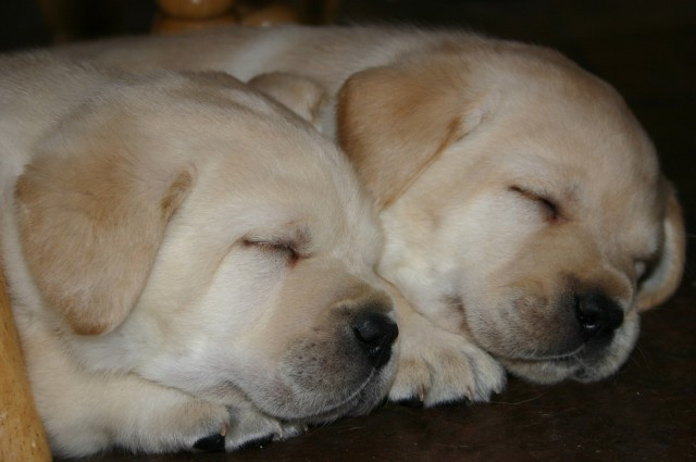 Sugar & Frankie pups snoozing